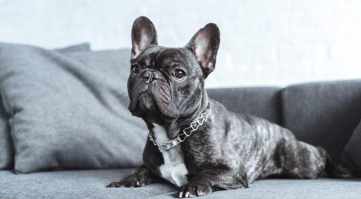 Cute french bulldog lying on grey sofa